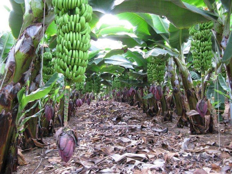 Villa Guaza Granero - bananenplantage
