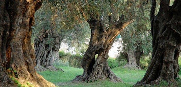 Hotel Case di Latomie - olijfbomen